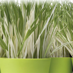 Cat Grass Ornamental Variegated