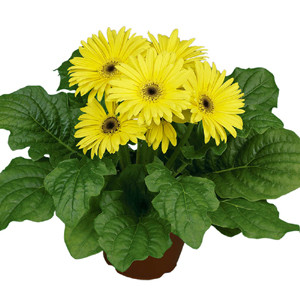Flori Line® Midi Yellow w/ Black Center Gerbera Daisy