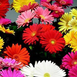 Festival Mix Gerbera Daisy