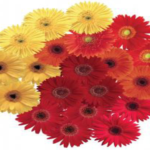 Festival Fall Harvest Mix Gerbera Daisy