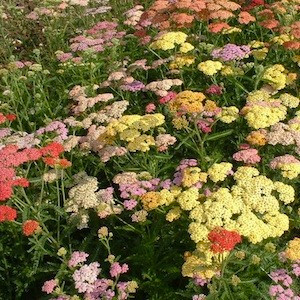 Colorado Mix Yarrow