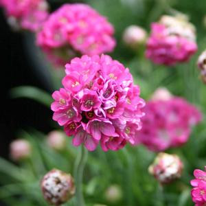 Mini Sticks Rose Armeria