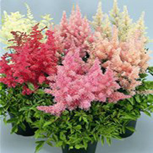 Showstar Mix Astilbe