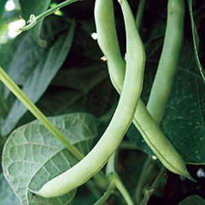Hialeah Bush Bean