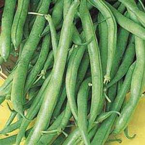 Derby Bush Bean