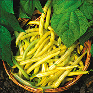 Gold Mine Golden Wax Bush Bean