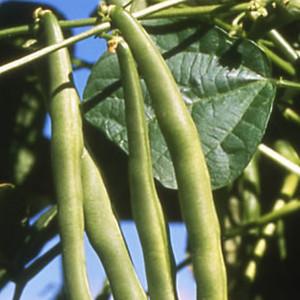 Kentucky Blue Pole Bean