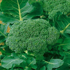 Waltham 29 Heirloom Broccoli