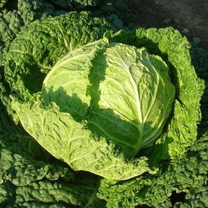 Savoy Alcosa Cabbage
