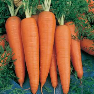 Danvers 126 Half Long Carrot
