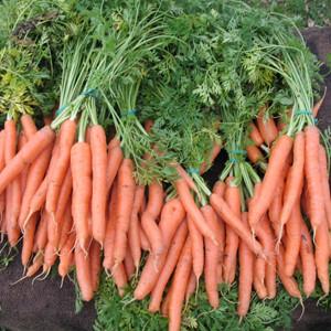 Mokum Carrot