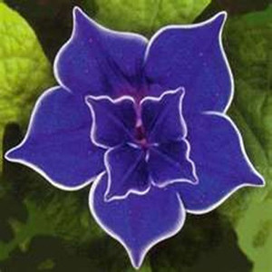 Nil Blue Picotee Morning Glory / Ipomoea