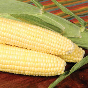 Bodacious F1 Yellow Sweet Corn