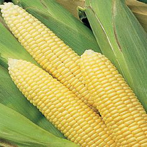 Early Choice F1 Yellow Sweet Corn