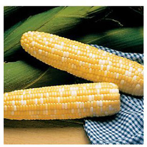 Serendipity Triplesweet F1 Bi-Color Sweet Corn