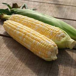 Allure F1 Bi-Color Sweet Corn