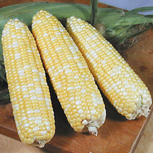 Xtra-Tender F1 Bi-Color Sweet Corn 277A