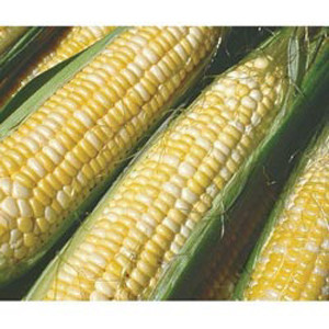 Peaches & Cream Bi-Color Sweet Corn