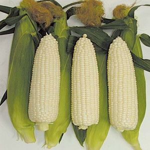 White Out White Sweet Corn