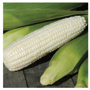Xtra Tender 3473 White Sweet Corn