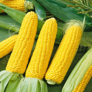 ubilee Golden Yellow Sweet Corn