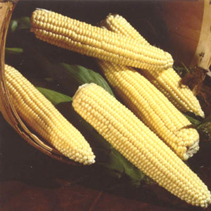 Northern Xtra Sweet Yellow Sweet Corn