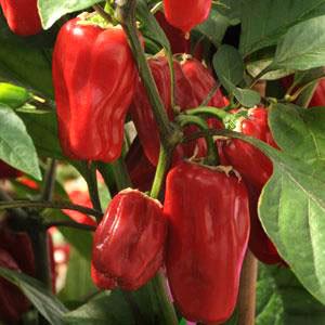 Sweet Heat F1 Chili Pepper