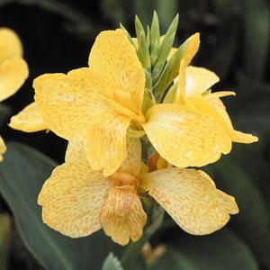 Canna-Yellow Tropical Green Leaf