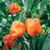 Habanero Orange Hot Chili Pepper