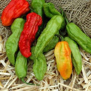 Bhut Jolokia (Ghost Pepper) Hot Chili Pepper