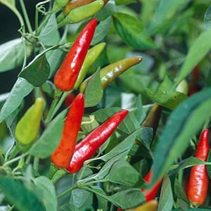 Thai Super Chili Pepper
