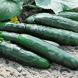 Marketmore 76 Slicing Cucumber