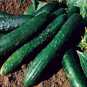Sweet Slice Slicing Cucumber