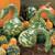 Speckled Swan Gourd