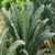 Kale Lacinato - Nero di Toscana -Organic