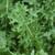 Kale White Russian