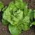 Lettuce Harmony