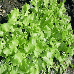 Lettuce Salad Bowl Green