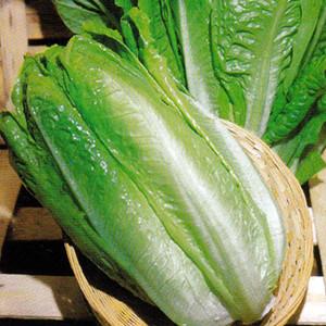 Lettuce Parris Island Romaine Type
