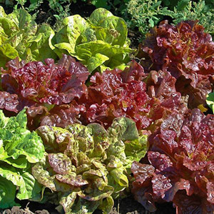 Lettuce Philosopher's Mix