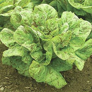 Lettuce Freckles