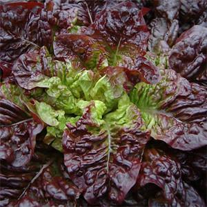 Lettuce Red-Eared Butterheart