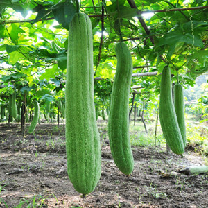 Luffa Gourd Angled Extra Long