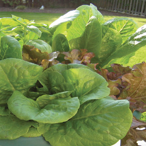 Lettuce Bistro Salad Mix