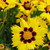 Sunkiss Coreopsis