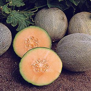 Ambrosia Melon Muskmelon