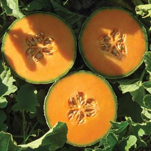 Lilliput Cantaloupe Melon