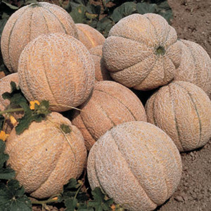 Super Star Cantaloupe Melon