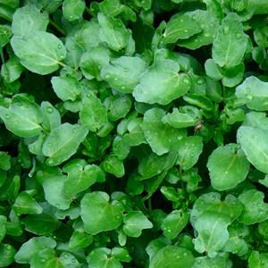Watercress Greens