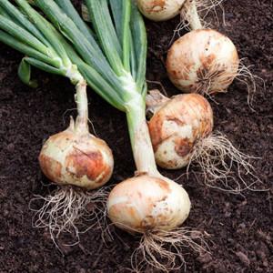 Sweet Spanish White Onion